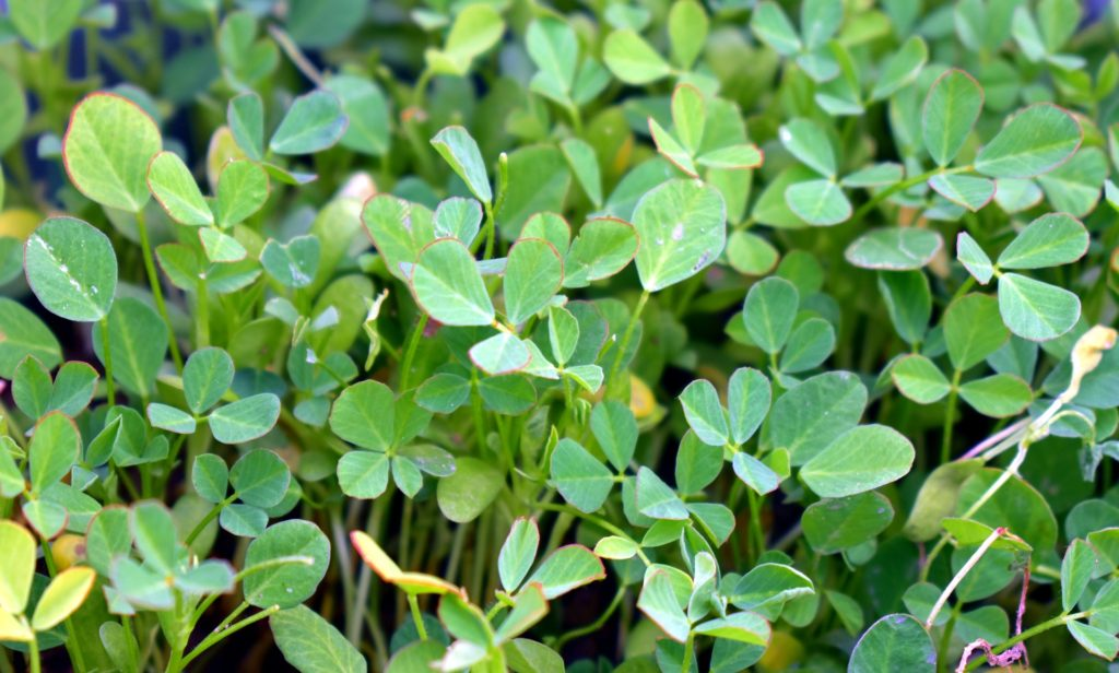 Goldthread A Rare Medicinal Plant Returntonature Us