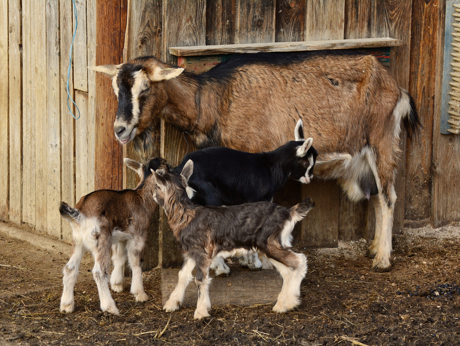 how many goats per acre dairy meat brush stocking rates for