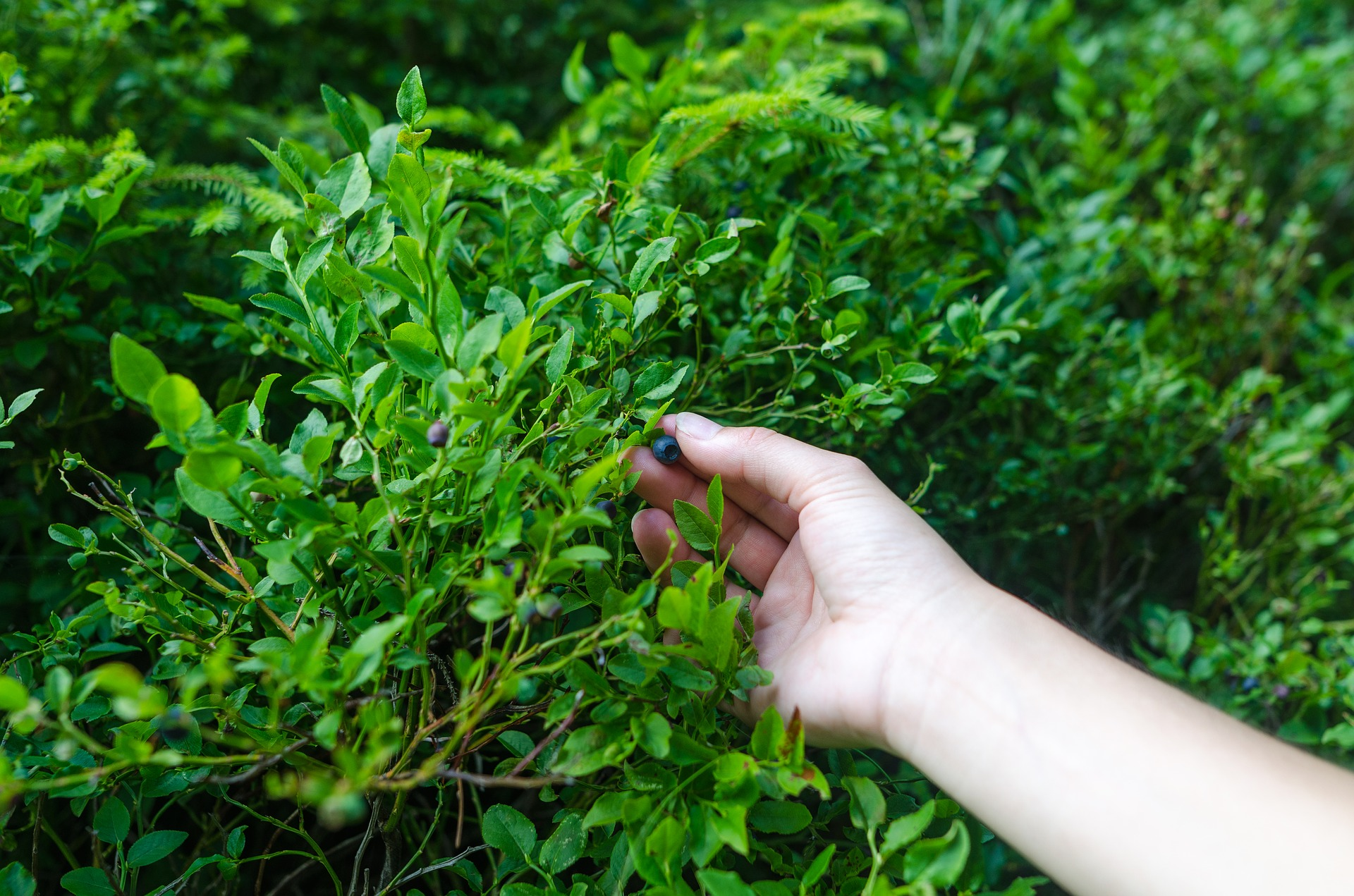 Can pine needles be used as berry mulch